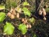 Конец ноября. Сбор урожая киви