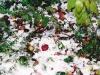 Новый год в Сочи начинается со сбора урожая