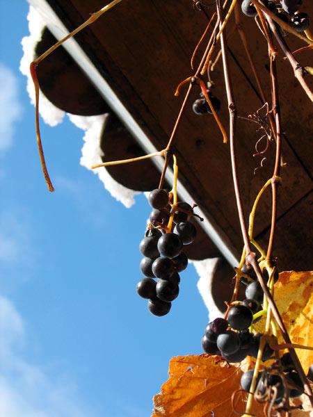Начало декабря. Виноград и снег.